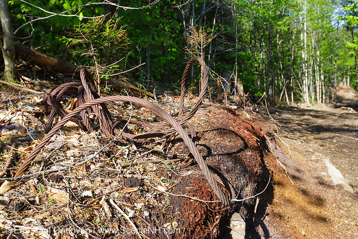 A skidder road in the Kanc 7 Timber Harvest project in the area of Forest Road 510 along the Kancamagus Scenic Byway (route 112) in the White Mountains, New Hampshire USA.The old cable is possibly from a past timber harvest that took place in the area