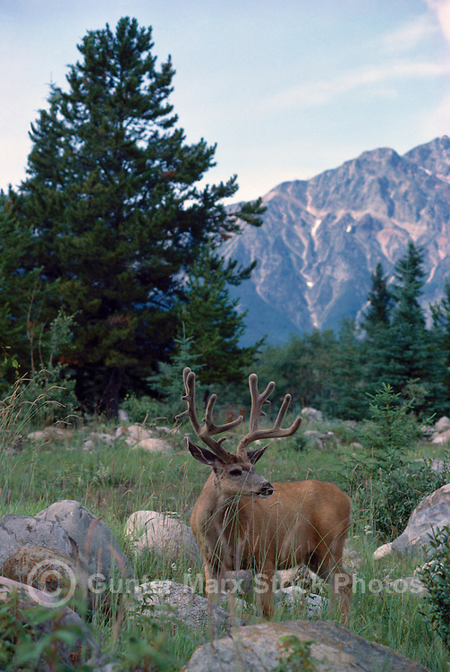 Black-tailed Deer Buck aka Blacktail Deer (Odocoileus hemionus columbianus), Rocky Mountains, BC, British Columbia, Canada - North American Wildlife