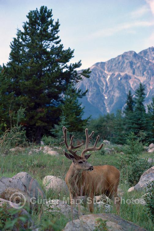 Black-tailed Deer Buck aka Blacktail Deer (Odocoileus hemionus columbianus), Rocky Mountains, BC, British Columbia, Canada - North American Wildlife