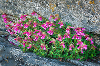 Penstemon growing in granite rock. Moro Rock, Sequoia National Park, California