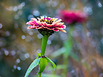 Vashon-Maury Island, WA: Zinnia close-up