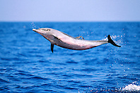 pantropical spotted dolphin calf, leaping .to shake off remora, Stenella attenuata, .Big Island, Hawaii (Pacific)