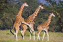 Rothschild's giraffes (Giraffa camelopardalis rothschildi), last one jumping on back of the one walking in front, Lake Nakuru National Park, Kenya
