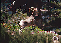 NELSON BIGHORN SHEEP, RAM<br /> SAN GORGONIO WILDERNESS<br /> CALIFORNIA
