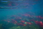 Sockeye salmon (Oncorhynchus nerka), Katmai National Park, Alaska