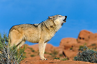 Eastern Canadian Wolf or Eastern Canadian Red Wolf (Canis lupus lycaon), howling