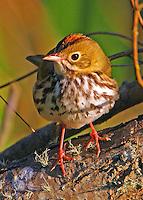 Adult ovenbird
