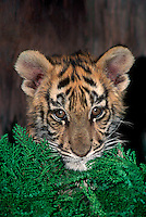 683990033 portrait of a bengal tiger cub panthera tigris at a wildlife rescue facility species is endangered in the wild and native to the indian subcontinent