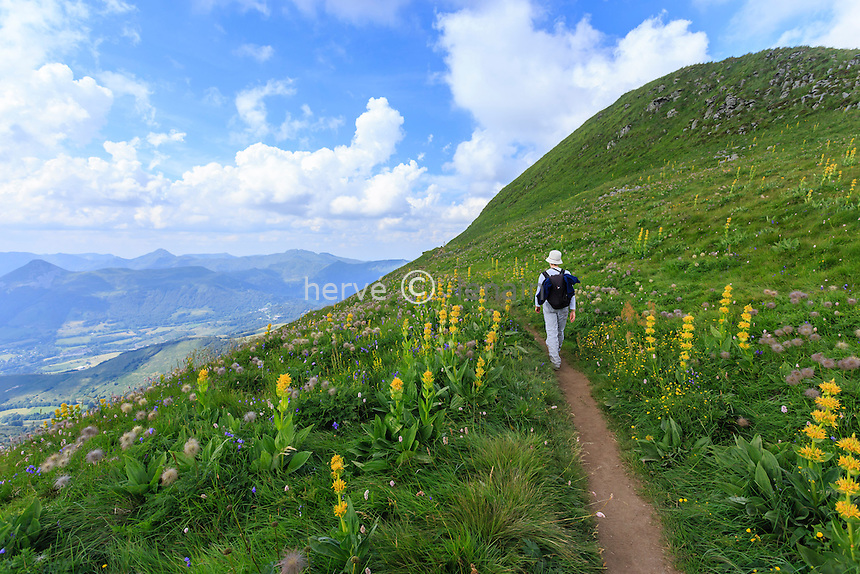 France, Cantal (15), le Plomb du Cantal, sentier sur ses flancs, à droite le sommet et gentiane jaune (Gentiana lutea) // France, Cantal, Plomb du Cantal, path on its sides, on the right summit and yellow gentian (Gentiana lutea)
