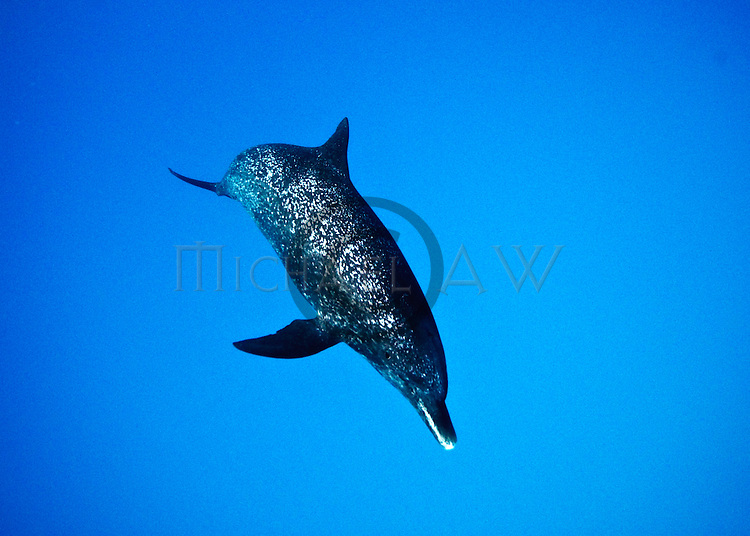 Atlantic Spotted Dolphin (Stenella frontalis), Bahamas