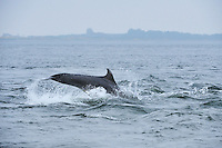 Sequence of adult Bottle-nosed Dolphin breaching,<br /> Tursiops truncatus,<br /> Moray Firth, Nr Inverness, Scotland - May