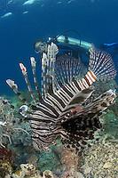 Lionfish, Pterois volitans, and a diver (MR). Indonesia.