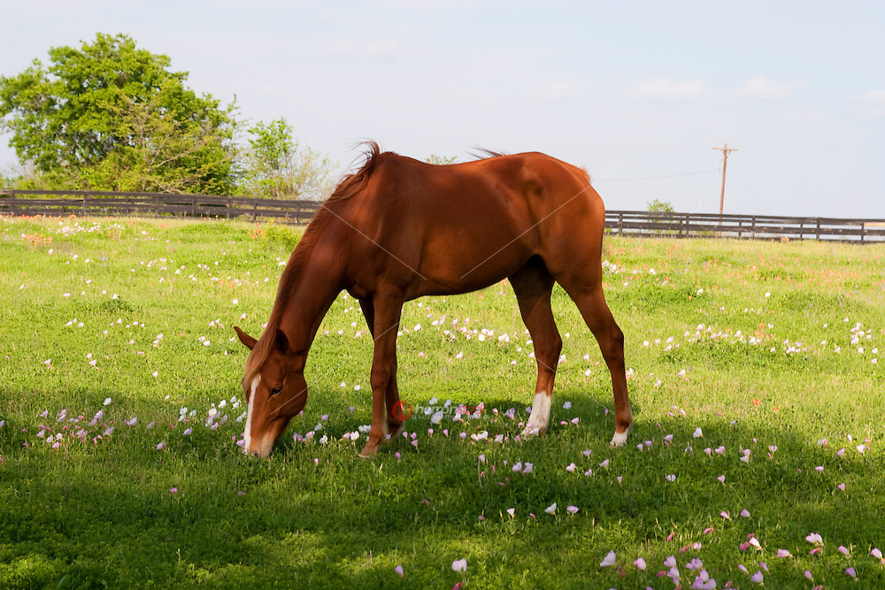 Quarter horse grazing in field of Texas pink and white buttercups during spring in the Texas Hill Country