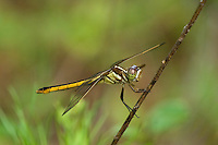 389260001 wild female yellow-sided skimmer dragonfly libellula flavida perched on small branch san jacinto national forest san jacinto county texas