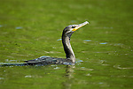 Neotropical Cormorant, Phalacrocorax olivaceus, Cocha Salvador, swimming on Lake, Manu, Peru, Amazonian Jungle, South America, fishing. .Peru....