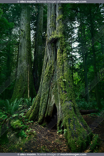 Tall ancient Douglas fir tree in Cathedral grove forest of MacMillan Provincial Park, Vancouver Island, British Columbia, Canada Image © MaximImages, License at https://www.maximimages.com