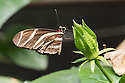 August 9, 2016 / Magic Wings Butterfly Conservatory / South Deerfield, MA / Shown: /  Photo by Bob Laramie