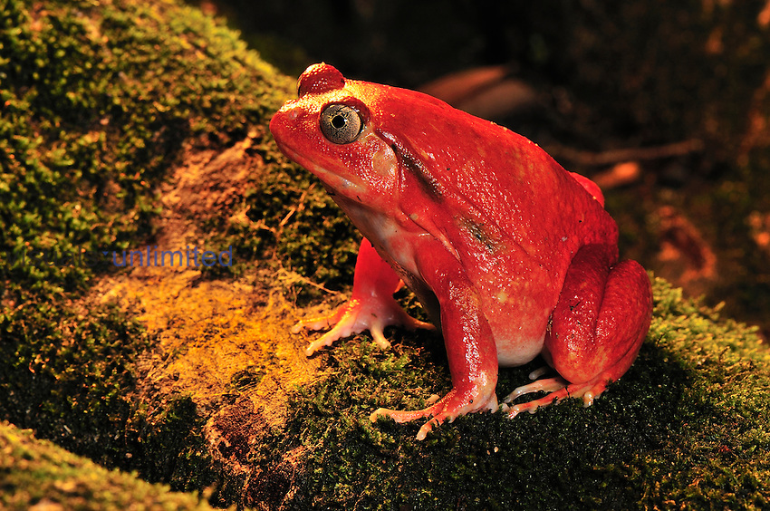 Tomato Frog (Dyscophus antongilii), Maroantsetra, Northeastern Madagascar