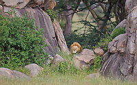 Large male lion (Panthera leo) hiding in an obvious ambush for some approaching wildebeest, Serengeti