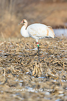 00881-00405 Whooping Crane (Grus americana) Federally endangered species feeding Effingham Co. IL