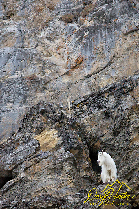 Mountain Goat, cliff face, Alpine, Wyoming