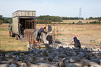 A shepherd condition checking ewes <br /> ©Tim Scrivener Photographer 07850 303986<br />      ....Covering Agriculture In The UK....