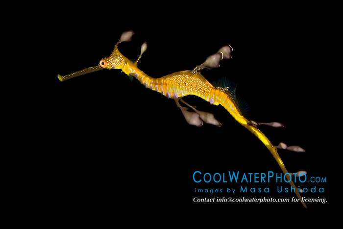 weedy sea dragon or common seadragon, Phyllopteryx taeniolatus, endemic to southern Australia and Tasmania (c)