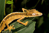 GK13-014z  Lined  Leaf Tailed Gecko - Uroplatus lineatus