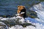 Grizzly bear catching salmon at Brooks Falls, Katmai National Park, Alaska