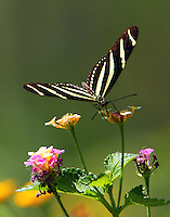 Zebra heliconian on lantana