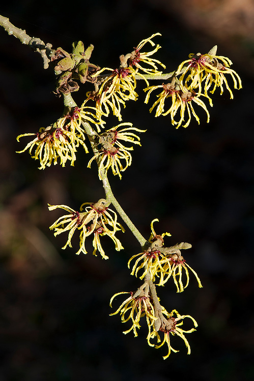 Witch hazel (Hamamelis x intermedia 'Primavera'), end January.