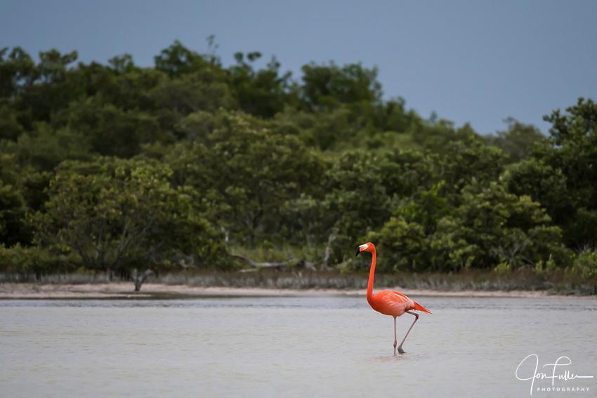 American Flamingos, Phoenicopterus ruber, in the marine estuary at the Ria Lagartos Biosphere Reserve, a UNESCO World Biosphere Reserve in Yucatan, Mexico.