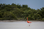 American Flamingos, Phoenicopterus ruber, in the marine estuary at the Ria Lagartos Biosphere Reserve, a UNESCO World Biosphere Reserve in Yucatan, Mexico.