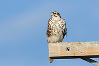Adult Prairie Falcon (Falco mexicanus) on utility pole. Tule Lake National Wildlife Refuge, Siskiyou County, California. December.