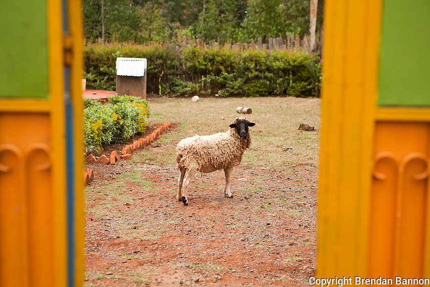Florence Kiplagat's sheep. Elite Kenyan athletes often invest in property and land with the earnigs from international races.