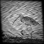 Long-Billed Curlew walking, Bolas Chica, CA.