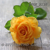 Gisela, FLOWERS, BLUMEN, FLORES, photos+++++,DTGK2130,#f# ,roses