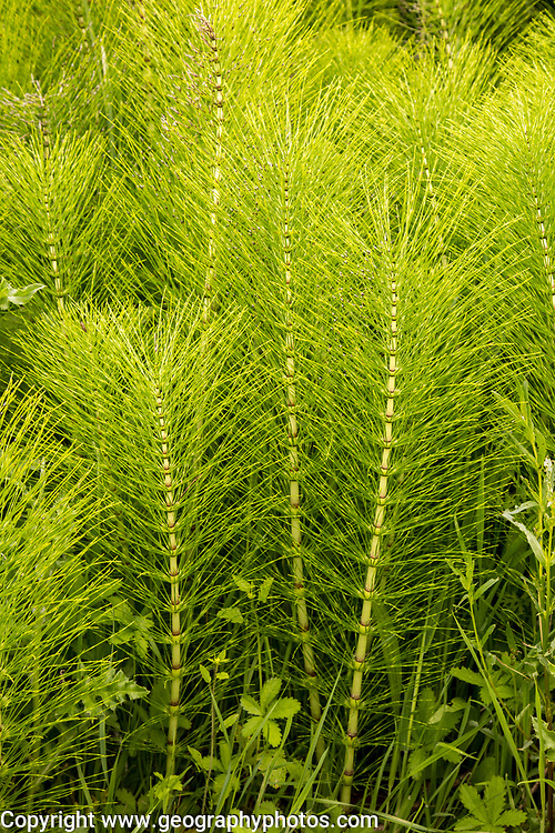 Common Horsetail Equisetum arvense plant, Suffolk, England, UK