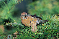 Red Crossbill, Loxia curvirostra, female eating on cones of European Larch (Larix decidua) , Unteraegeri, Switzerland, Oktober 2004