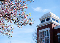 Japanese Magnolia tree with Colvard Union tower.<br />  (photo by Sarah Tewolde / &copy; Mississippi State University)