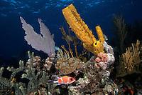 Squirrelfish, yellow tube sponge, Bahama Islands