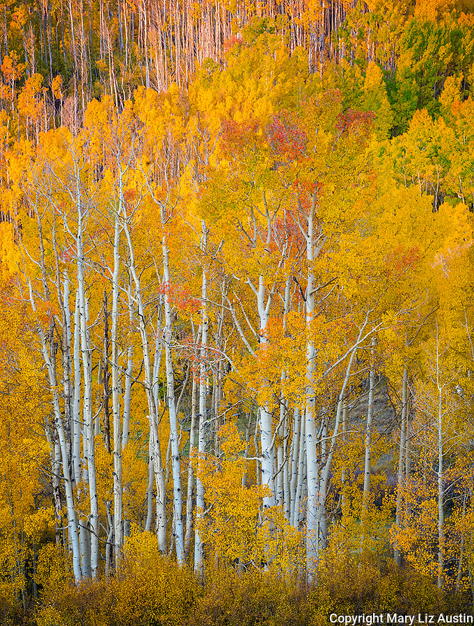 Boulder Mountain, Dixie National Forest, Utah: Colorful stands of aspens in autumn on Boulder Mountain with morning sun on the distant hillside.