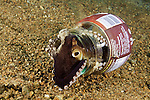 Veined Octopus (Octopus marginatus) using a discarded bottle for shelter, Anilao, Philippines.