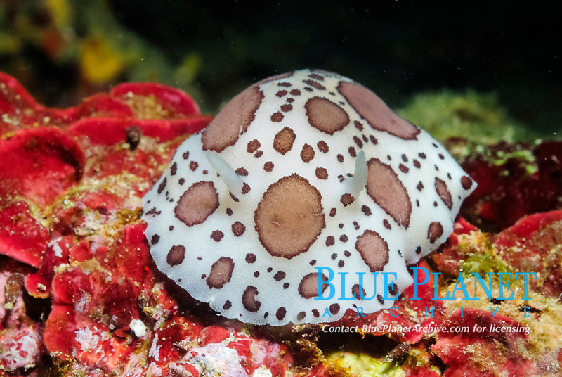 dotted sea slugs, or dotted sea cows, Peltodoris atromaculata (synonym: Discodoris atromaculata), off Monaco coast, Mediterranean sea