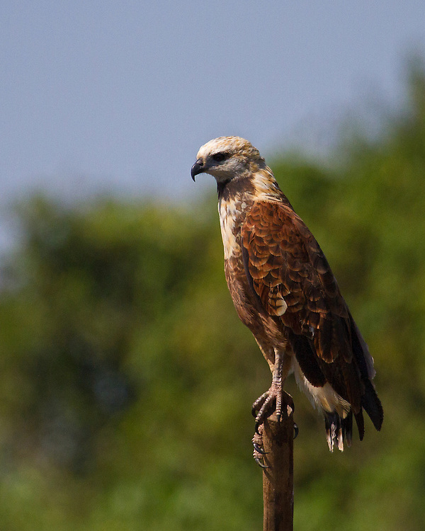 A Black-collared Hawk, balancing on the top of a post, spotted as we cruised through the labyrinth  of rivers in the Pantanal area of Brazil. The hawk has a white head, tinged with buff and a ciinnamon-rufous body that is paler on the chest enhanced by a black crescent on the upper breast.