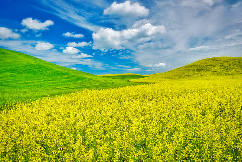 Yellow Canola and wheat field in spring. The Palouse, Washington