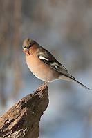 Buchfink, Buch-Fink, Männchen, Fringilla coelebs, chaffinch