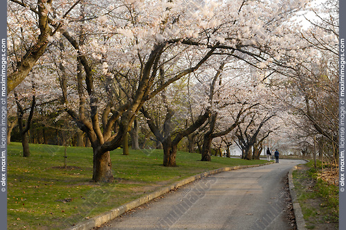 Beautiful flowering japanese cherry trees Someiyoshino Prunus Yedoensis Matsum in a park Springtime evening scenic High Park Toronto Ontario Canada 2008