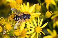 Keilfleck-Schwebfliege, Garten-Keilfleckschwebfliege, Keilfleckschwebfliege, Helle Bienen-Schwebfliege, Helle Bienenschwebfliege, Weibchen beim Blütenbesuch an Jakobs-Greiskraut, Nektarsuche, Bestäubung, Eristalis horticola, Eristalis lineata, Eoseristalis lineata, drone fly, female