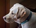 Golden labrador window light portrait.